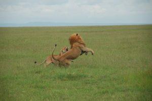 Un voyage sur mesure au Kenya, découvrir la terre des lions